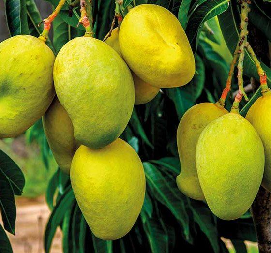 Mango growers plan six juice processing plants in 2021
