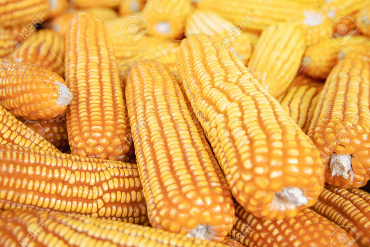 FG okays Tela Maize for open cultivation